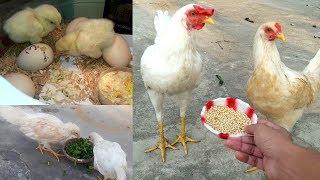 Chicken growth (Day-1 to 6 Months)    Chicken Facts