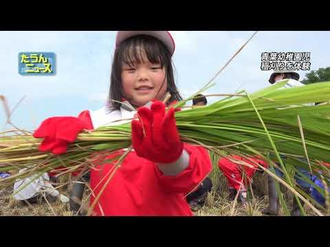 4K たうんニュース2018年9月「青葉幼稚園児が稲刈り体験」
