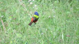 Spectacular Greens, Blue & Orange on Painted Bunting Eating Seed on Plant Pinckney Island Wildlife R
