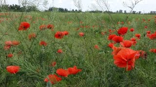 Маковое поле! Красота в Краснодарском крае. Май 2015 год. RUSSIA