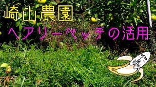 マメ科ヘアリーベッチの活用有田みかんの崎山農園うろうろ和歌山和歌山県