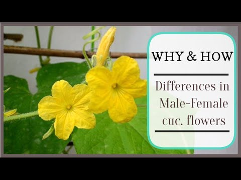 , title : 'Why male and female cucumber flowers look different?   Explained