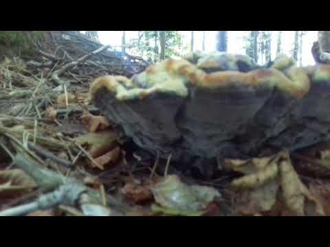 Siccome il fungo che sta a uno stadio iniziale di una fotografia guarda