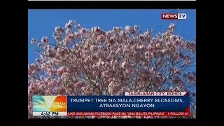BP: Trumpet Tree Na Mala-cherry Blossoms, Atraksyon Ngayon