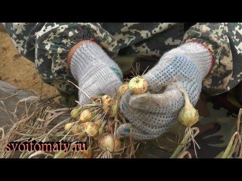 Тонкости выращивания, уборки и хранения лука севка из семян