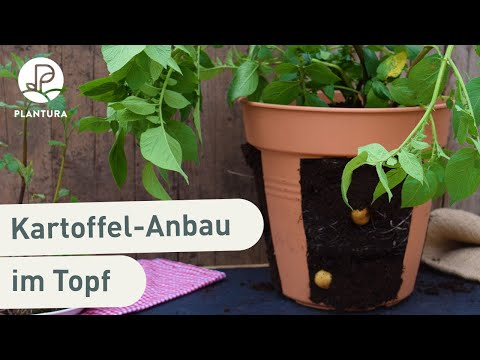 Kartoffeln pflanzen: So gelingt das Anbauen im Topf (Anleitung)