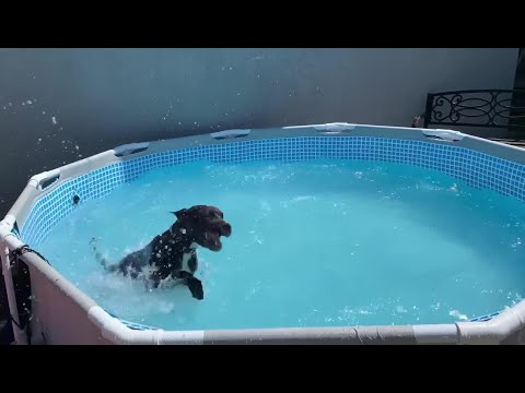 Dog has fun splashing water in the pool