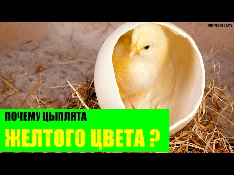 Почему цыплята желтые?