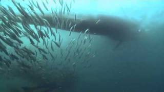 Videogallery – Sardine Run  – parte 1