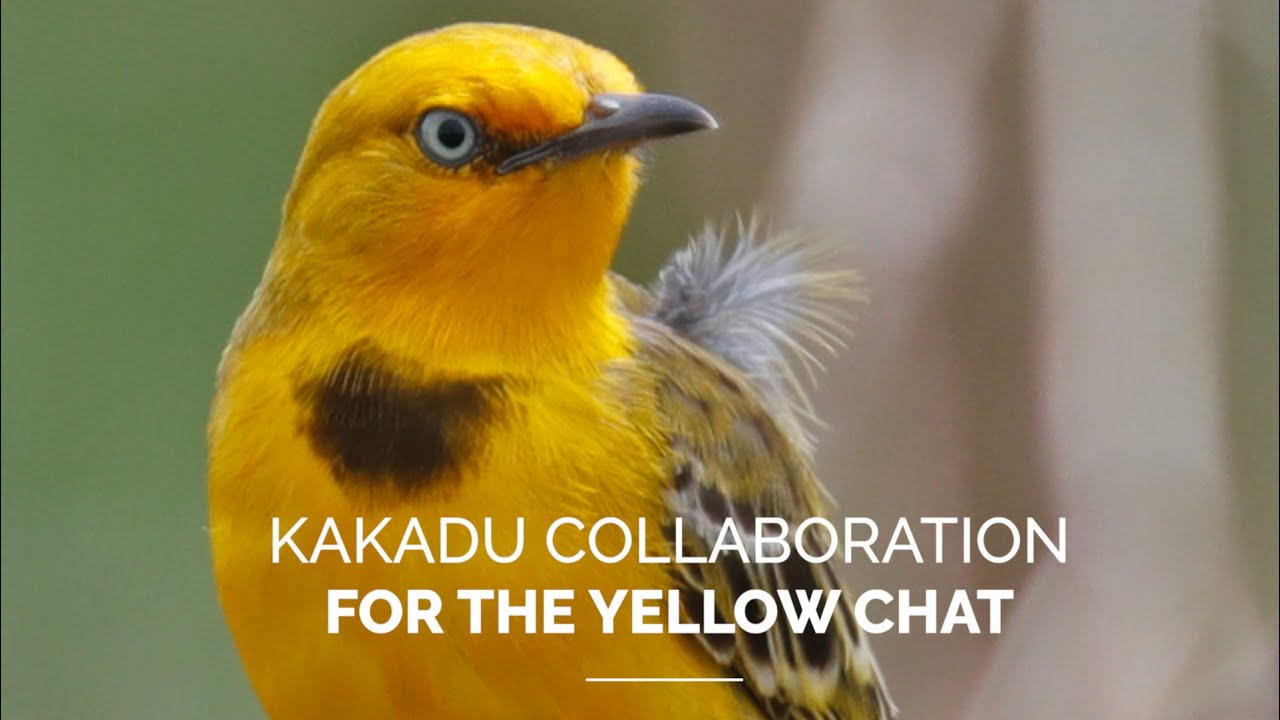 Kakadu collaboration for the yellow chat