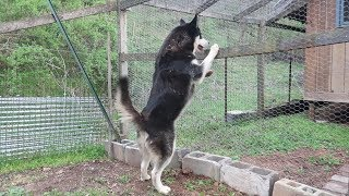 Husky React to Chickens - BAD IDEA!