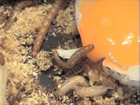 Das Reinigen von den Parasiten vom Zitronensaft und dem Eukalyptus