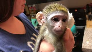 Baby monkey   Preparing Max for Bed