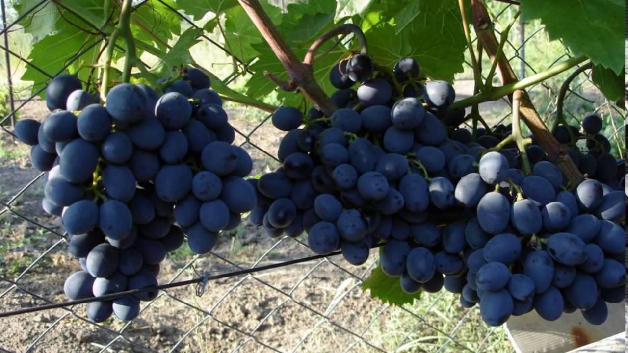 Виноград Гала  - описание