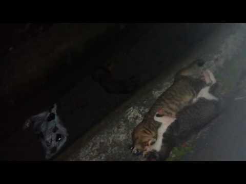 居然馬路上有三隻大貓同時被撞死