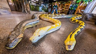 ALL MY GIANT SNAKES IN ONE VIDEO!!   BRIAN BARCZYK