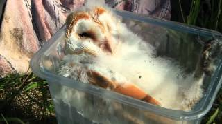 preview picture of video 'barn owl chicks'