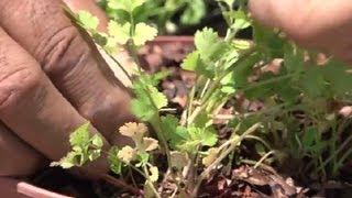 When to Trim Cilantro : Herb Gardening