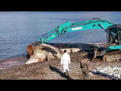 VIDEO. Haute-Corse : le corps de la baleine échouée près de Saint-Florent a été évacué