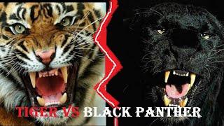 Tiger Vs Black Panther | Tiger Vs Black Panther Who Would Win | Sher Khan Vs Bagheera