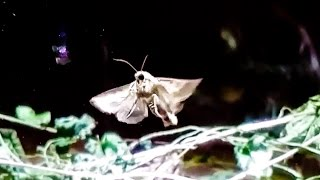 Our pet moth (Noctua pronuba) drinking honey water and learning to fly.