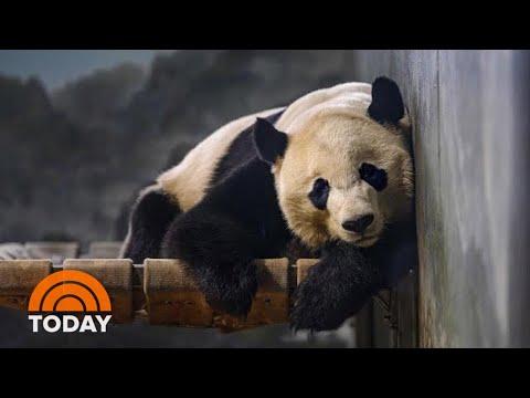 Bei Bei The Panda Is LEAVING National Zoo For China | TODAY