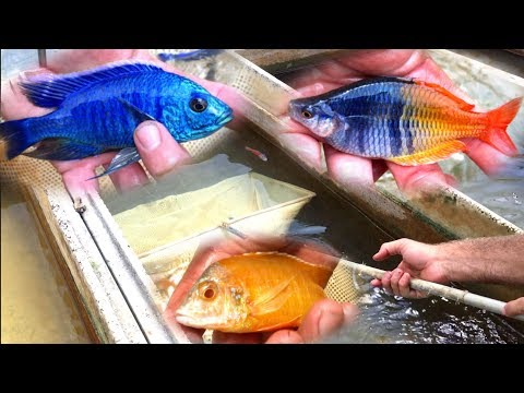 cichlids video watch HD videos online without registration