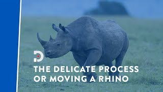 The delicate process of moving a rhino