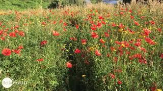 Spaziergang über's Mohnblumenfeld
