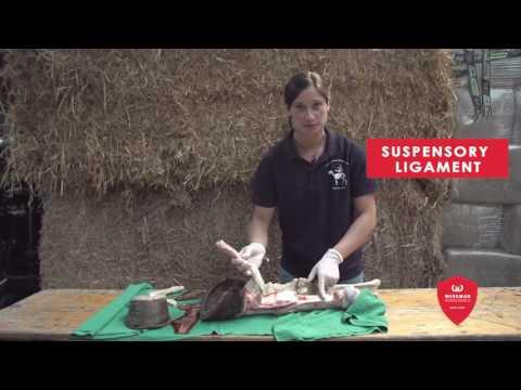 Anatomia dello zoccolo equino