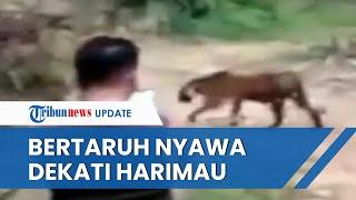 Viral Video Warga Aceh Dekati Harimau yang Baru Keluar dari Hutan, Bertaruh Nyawa demi Foto & Video