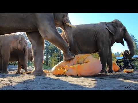 Elephants Celebrate Halloween by Squashing Giant Gourds