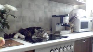 Никифор кот-грубиян - огрызается, несуразно выражается, спорит с хозяйкой фото