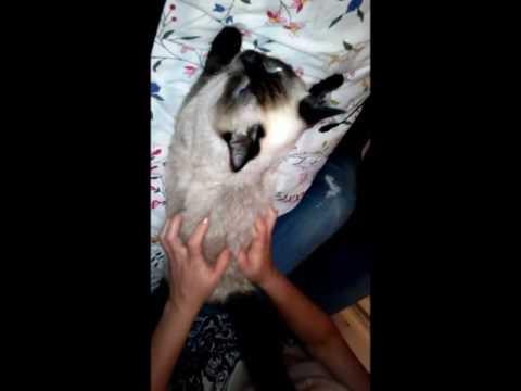 Мастит у кошки: как лечить