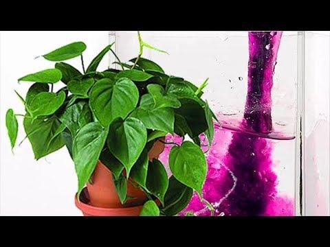 Зачем нужна марганцовка комнатным растениям. Польза марганцовки для здоровья растений.