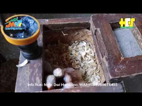 Video Cara Beternak Love Bird Yang Menguntungkan