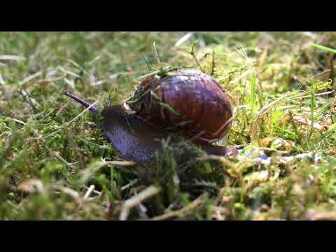 Snail crawling on the grass. Улитка ползёт по траве.