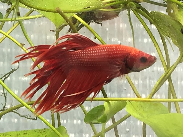 Keeping Betta Fish Q and A