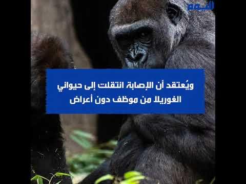 في حادثة نادرة .. إصابة غوريلتين في حديقة حيوان سان دييجو بكورونا