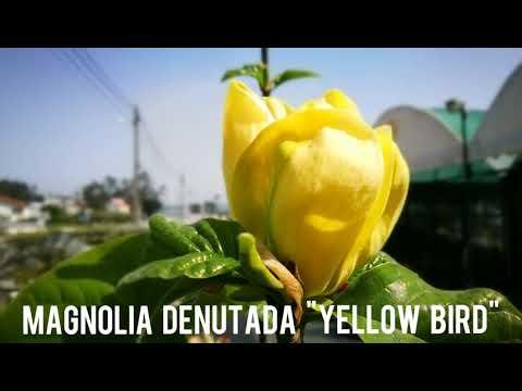 "Magnolia denutada ""Yellow Bird"""