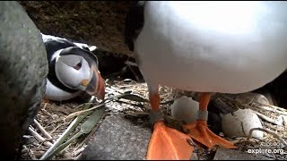 2019 06 26 Puffin -  Mom Millie sees her little Bucky for the first time