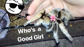 MEET all my FRIENDLY TARANTULAS !!! [Best beginner tarantula?]