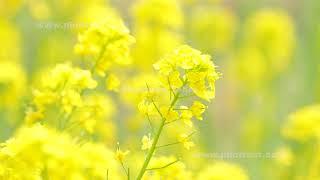 菜の花の動画素材, 4K写真素材
