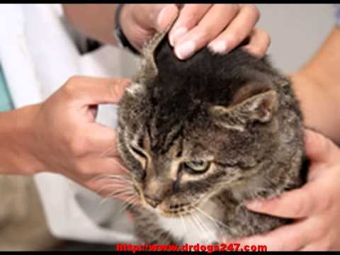 Video Cat Ear Mites - How To Get Rid Of Ear Mites in Cats