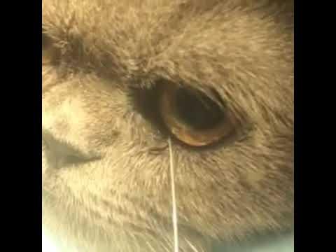 Промывание носослезного канала у кошки