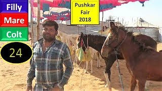 पुष्कर मेला Pushkar Fair Mela Horse Market 2018 : Indian Mare Colt Filly  : Ghoda Bazar