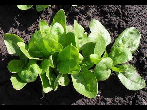 Мой опыт выращивания шпината в открытом грунте
