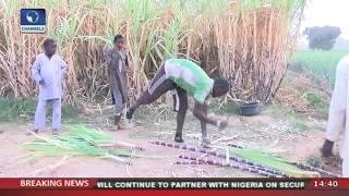 Worrying State Of Sugarcane Harvest in Nigeria |Eyewitness Report|