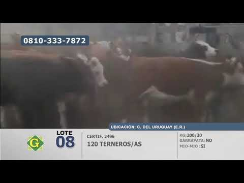 Lote Terneros/as en C. del Uruguay (Entre Ríos)