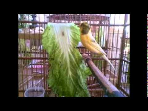 Video Makanan Burung Kenari Biar Cepat Gacor